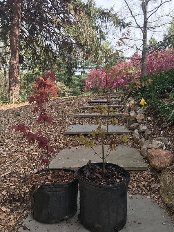 Japanese Maple Kindred Spirit Hybrid Oak
